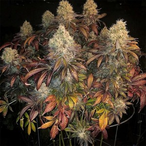 Ethos Genetics - Pillow...