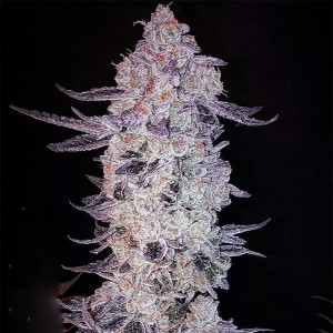 Ethos Genetics - Purple Roze