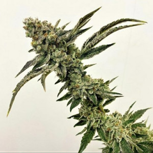 Exotic Genetix – Strawberry...