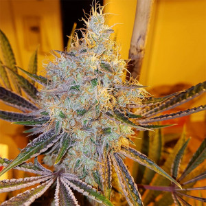 GreenPoint Seeds - Chinook...